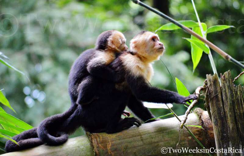 White-faced Monkeys in Manuel Antonio | 2 Week Itinerary for Costa Rica