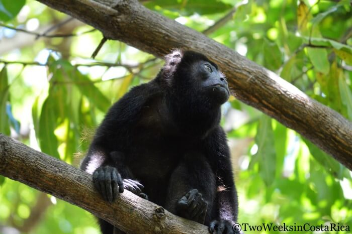 Howler Monkey |Two Weeks in Costa Rica