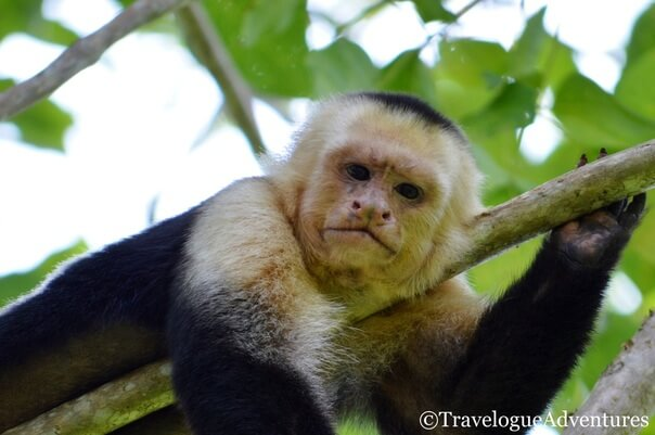 White-faced monkey Costa Rica Picture