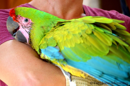 Great Green Macaw in Costa Rica Image