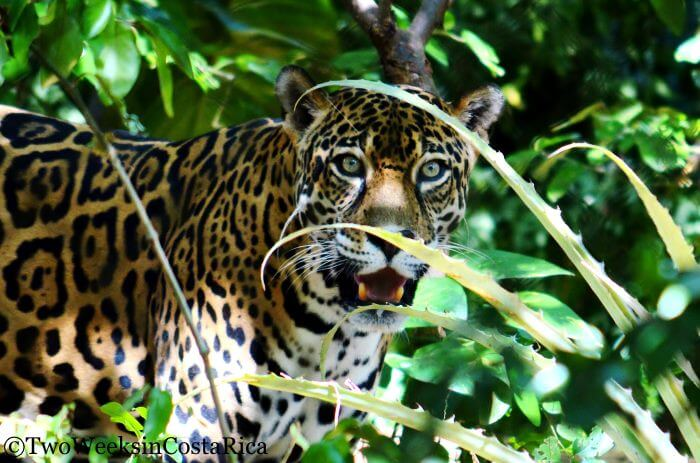 Jaguar at Las Pumas Rescue Center | Two Weeks in Costa Rica