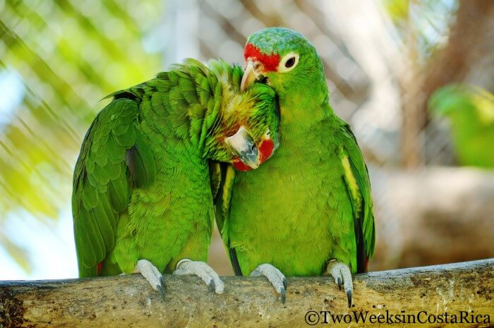 Red-lored Parrots at Las Pumas Rescue Center | Two Weeks in Costa Rica