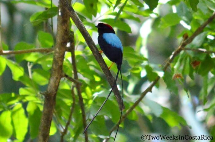 Long-tailed Manakin in Rincon de la Vieja | Two Weeks in Costa Rica