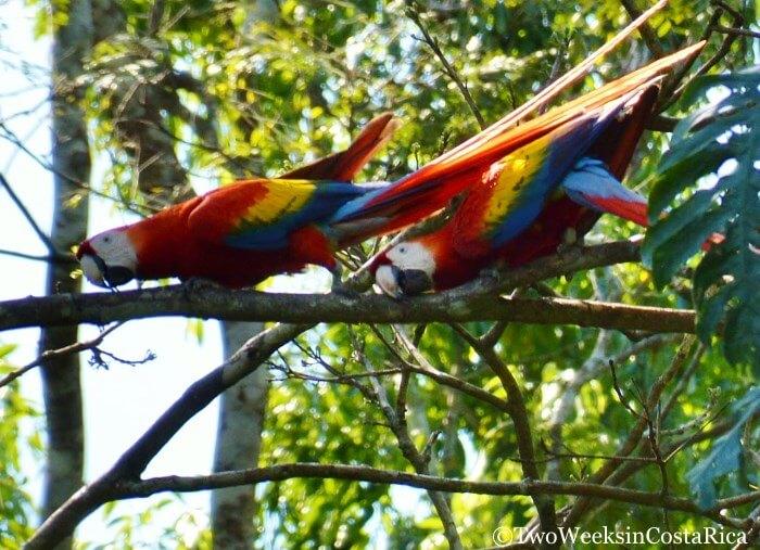 Scarlet Macaws Mating in Carara National Park, a birding hotspot in Costa Rica.