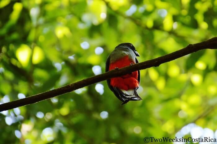 Slaty-tailed Trogon in Carara National Park, a birding hotspot in Costa Rica.