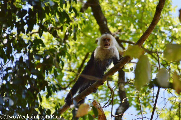 White-faced monkey in Lomas Barbudal Biological Reserve