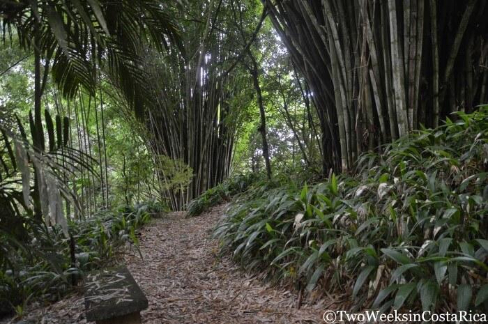 Towering bamboo at Wilson Botanical Garden